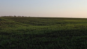 Na rozwój pszenicy bardzo duży wpływ ma praca rolnika. Na zdjęciu młoda pszenica.