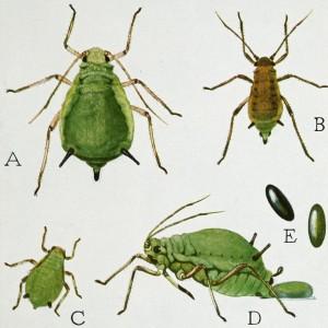 Mszyce w zbożach - aż 70 różnych gatunków, na obrazku mszyce