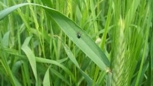 Skrzypionka w zbożu - szkodnik żerujący w pszenicy