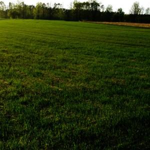 zwalczenia chwastów w pszenicy - wiosna vs jesień