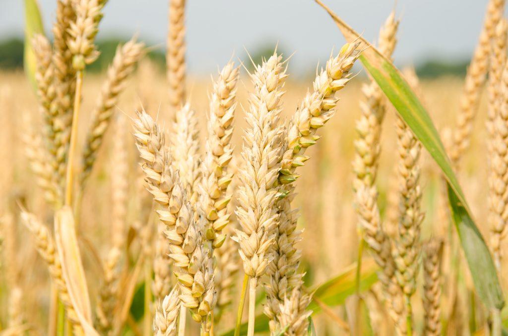 Rozwój pszenicy jest w dużej mierze zależny od pracy rolnika. Aby osiągnąć najlepsze wyniki należy pamiętać o kilku krokach. Na zdjęciu pole pszenicy.