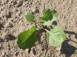 rzepak ma wysokie zapotrzebowania na mikroelementy jesienią