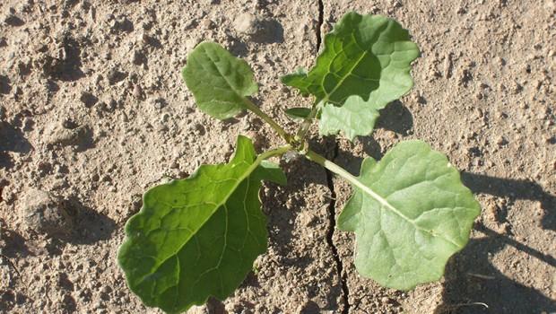uprawa rzepaku na polu pojedyncza roslina rzepak