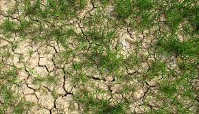 zboże w czasie suszy