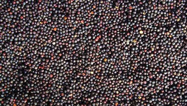 nasiona do siewu rzepaku ozimego