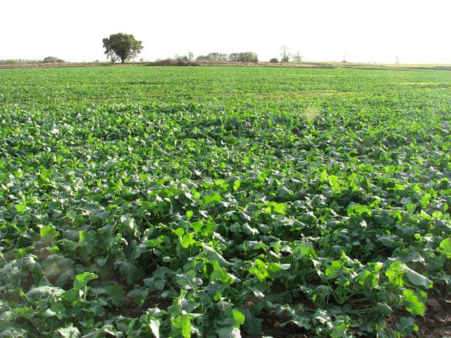 rzepak jesienią z dużym zapotrzebowaniem na mikroelementy