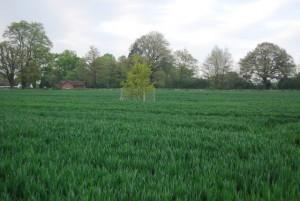 zwalczenie chwastów w pszenicy ozimej to lepszy plon