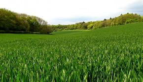 Co zrobić aby zwiększyć plon pszenicy