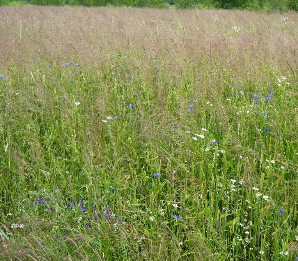 herbicydy - chwasty w zbozu