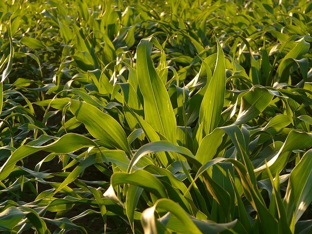 Liście młodej kukurydzy