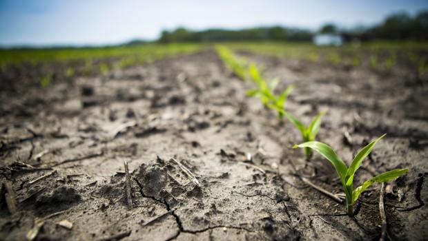 chwasty w kukurydzy można zwalczać powschodowo i przedwschodowo