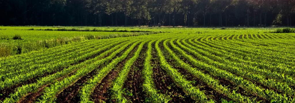 nawozenie kukurydzy na ziarno jest kluczowe w kazdym stadium rozwoju