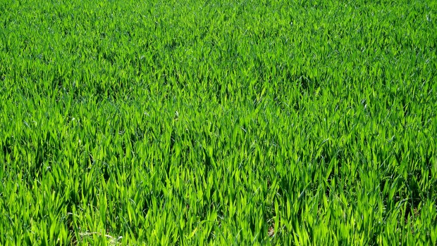 chwasty pojawiają się wiosną wraz z intensywnym wzrostem zboża