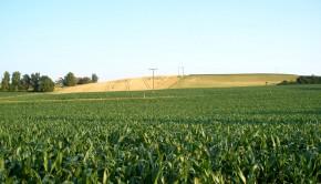 uprawa kukurydzy