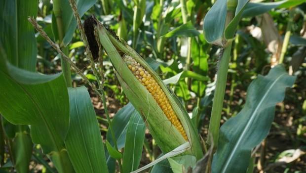 fungicydy w uprawie kukurydzy
