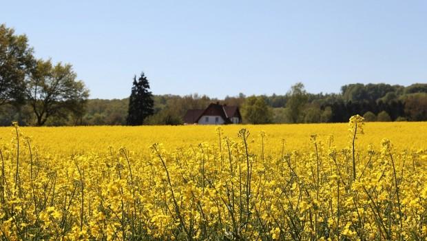 Zabiegi fungicydowe w uprawie rzepaku