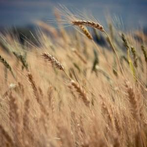 wegetacja pszenicy ozimej
