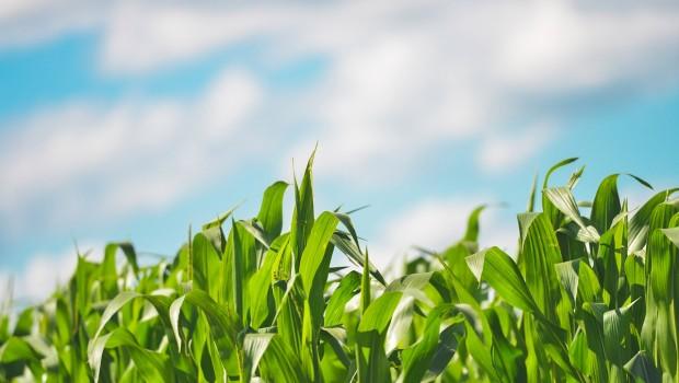 Choroby kukurydzy