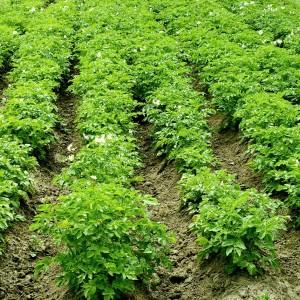 Odchwaszczanie ziemniak