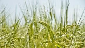 Odmiany zbóż