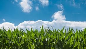 rozwój kukurydzy