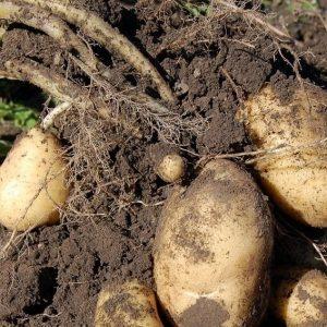 Uprawa ziemniaka krok po kroku