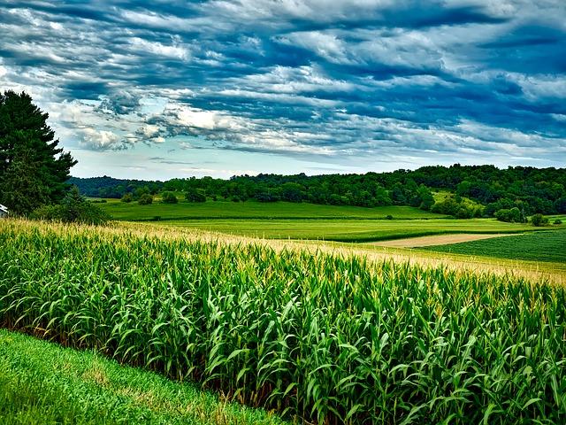 nawożenie_kukurydzy