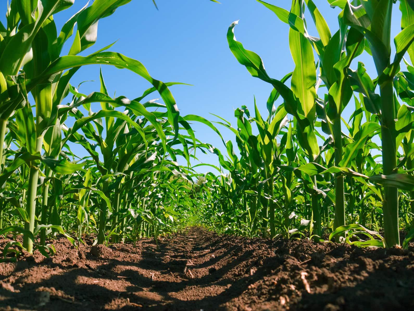 Błędy w uprawie kukurydzy