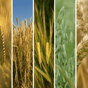 Rodzaje zbóż