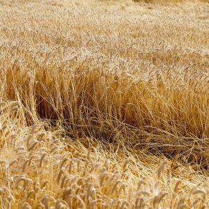 wyleganie zboz pole rolnika