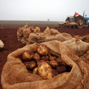 zbiory ziemniaków