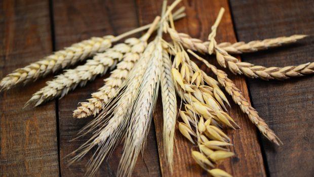 Terminy siewu zbóż