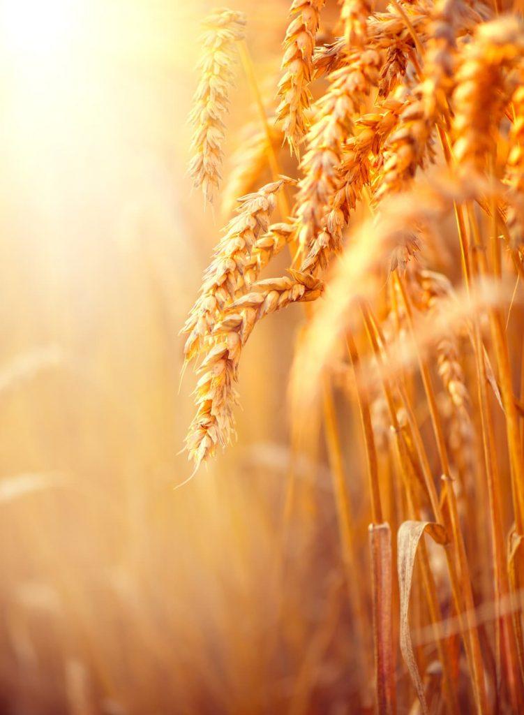 Terminy siewu zbóż ozimych
