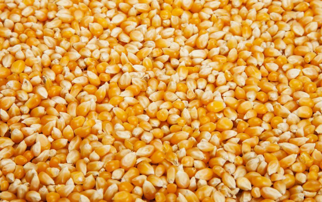 uprawa kukurydzy jesienią