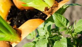 ochrona ziemniaka i cebuli