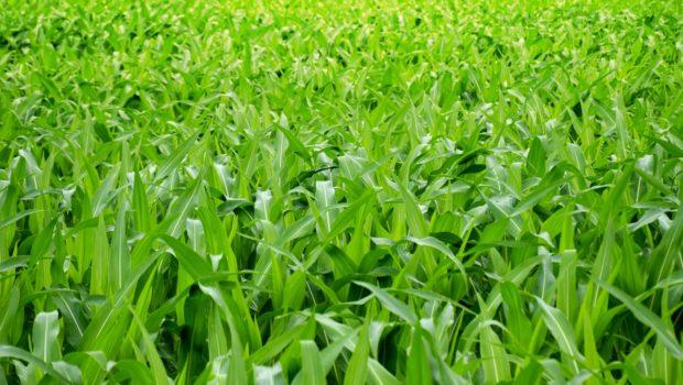 Nierówna kukurydza