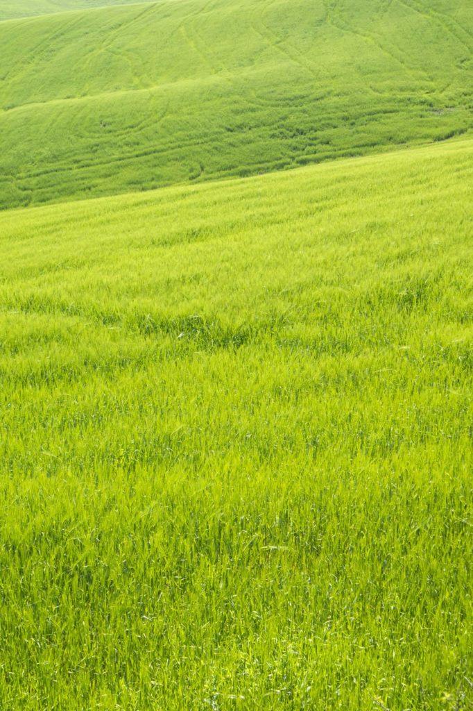 ochrona zbóż jarych