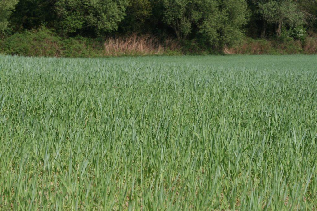 Błędy w uprawie zbóż