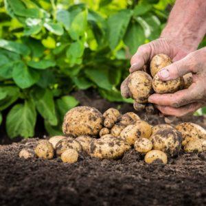 choroby-przechowalnicze-ziemniaka
