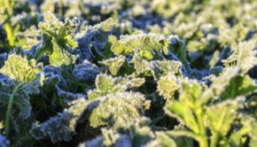 Rzepak przed zima