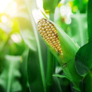 zasiewy kukurydzy