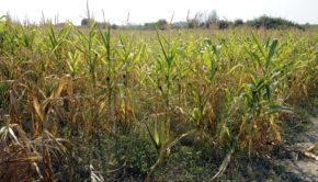 susza-rolnicza-na-polu-kukurydzy