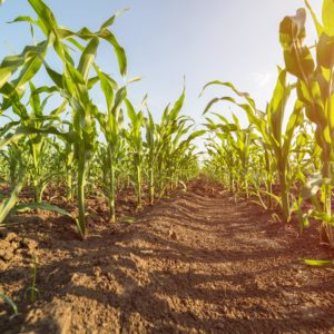 skoczek-kukurydziany