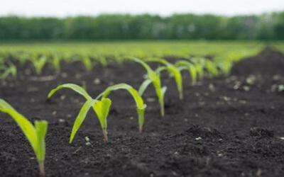 regulacja wzrostu u zbóż
