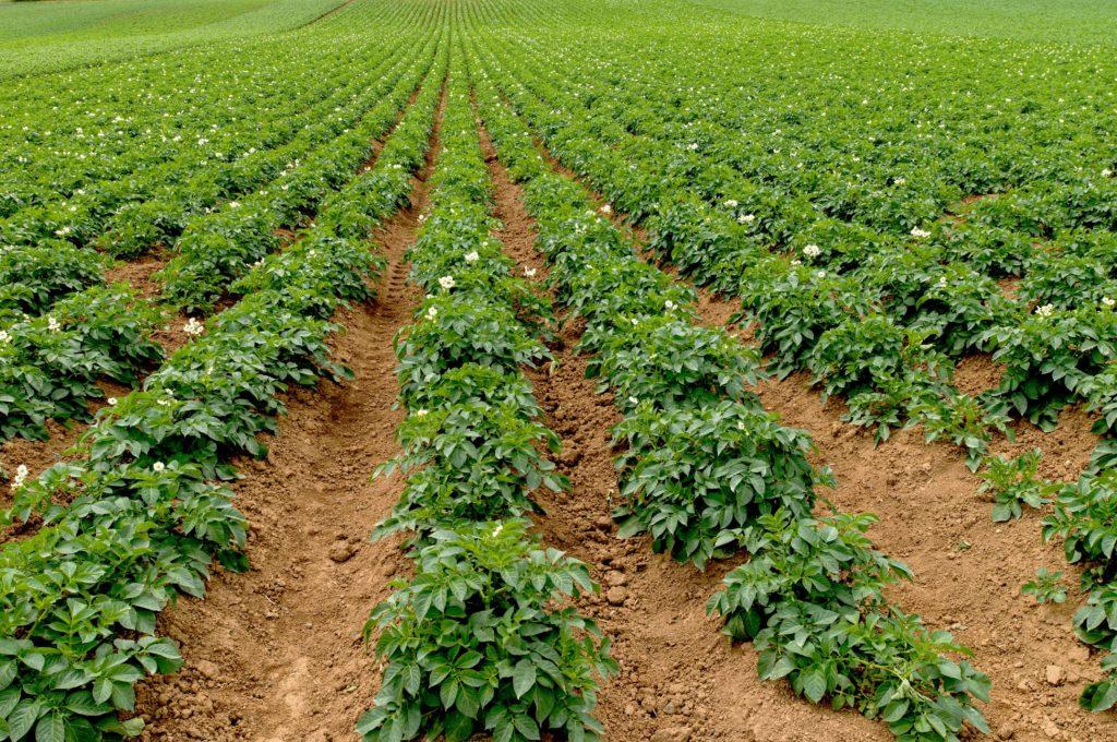 zwalczanie-chwastow-ziemniak-uprawa