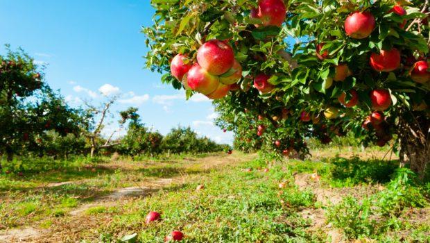 korowka-jablonie