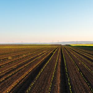 kukurydza-uprawa