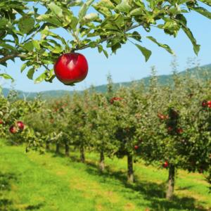 macznika-prawdziwy-jabloni