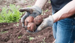 parch zwykly ziemniaka-