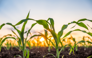 przygotowanie-pola-pod-uprawe-kukurydzy